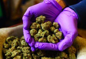 Hands with Purple Latex Gloves Holding Marijuana Buds